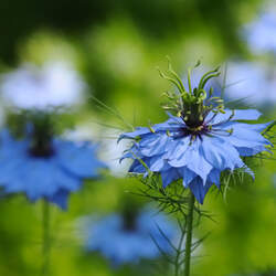 Nigella damascena Devil In The Bush, Love - In - A - Mist seed for sale