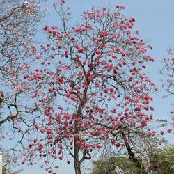 Tabebuia rosea Pink Trumpet-tree seed for sale