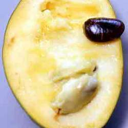 Asimina triloba   Shenandoah Pawpaw, Selected Common Pawpaw, Common Pawpaw, Shenandoah Pawpaw seed for sale
