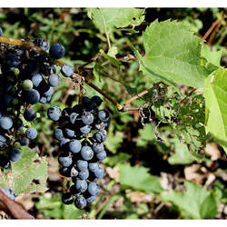 Vitis riparia Riverbank Grape seed for sale