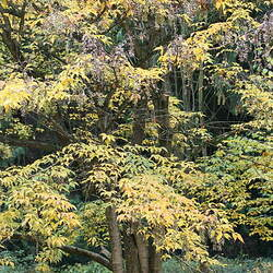 ACER henryi Henry's Maple seed for sale