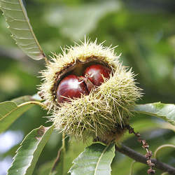 Castanea sativa Spanish Chestnut, European Chestnut seed for sale