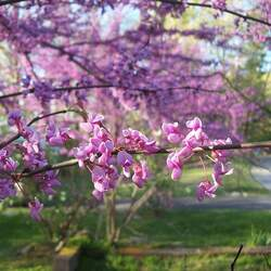 Cercis canadensis    Northern  Zone 5 Redbud, Eastern Redbud, Northern Zone 5 Eastern Redbud seed for sale