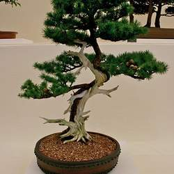 Larix kaempferi Japanese Larch seed for sale