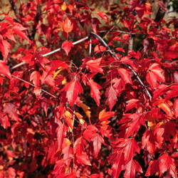 ACER tataricum ginnala  Flame Flame Amur Maple seed for sale