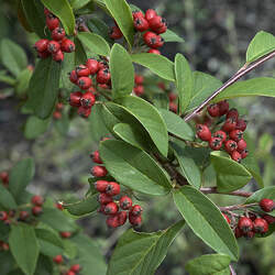 Cotoneaster salicifolius Willowleaf Cotoneaster seed for sale