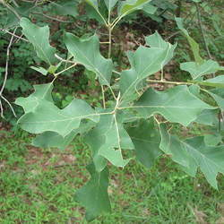 Quercus ilicifolia Scrub Oak, Bear Oak seed for sale