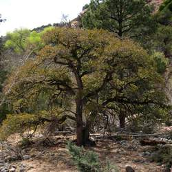 Quercus arizonica Arizona White Oak seed for sale