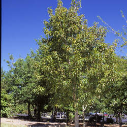 Quercus polymorpha Netleaf White Oak, Monterrey Oak, Mexican White Oak seed for sale