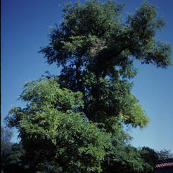 Ulmus crassifolia Cedar Elm seed for sale
