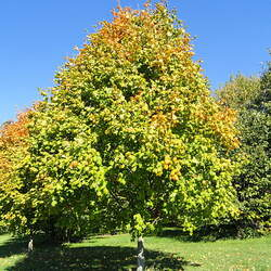 ACER saccharum nigrum Black Maple seed for sale