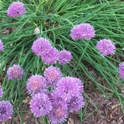 Allium schoenoprasum Chives, Wild Chives seed for sale