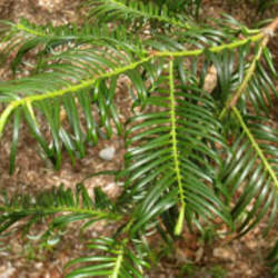 Cephalotaxus fortunei Chinese Plum Yew, Chinese Cowtail Pine, San Jian Shan seed for sale