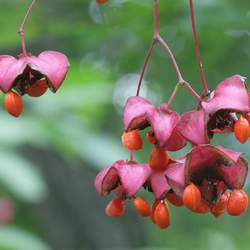 Euonymus latifolius Broadleaf Euonymus, Spindletree seed for sale