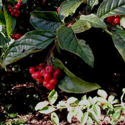 Cotoneaster bullatus     clean seed Hollyberry Cotoneaster seed for sale