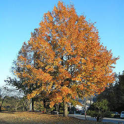 Liquidambar formosana Formosan Sweetgum, Chinese Sweet Gum, Formosan Gum seed for sale