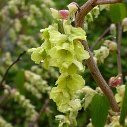 Corylopsis glabrescens Fragrant Winterhazel seed for sale
