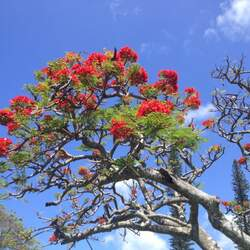 Delonix regia Royal Poinciana, Flame Tree seed for sale