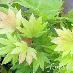 ACER shirasawanum  Aureum   fresh/green seed Yellow Moon Maple seed for sale