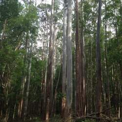 Eucalyptus grandis Rose Gum, Grand Eucalyptus, Flooded Gum seed for sale
