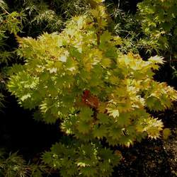 ACER shirasawanum  Aureum   dry seed Yellow Moon Maple seed for sale