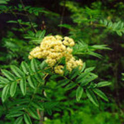 Sorbus scopulina Greene's Mountain Ash, Western Mountain Ash seed for sale