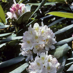 Rhododendron maximum Great Laurel, Rosebay, Rosebay Rhododendron seed for sale