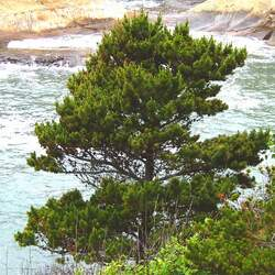 Pinus contorta  contorta Shore Pine, Beach Pine seed for sale