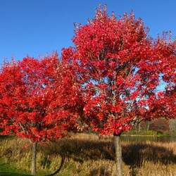 ACER rubrum  Selected Varieties   winged seed Select Red Maple seed for sale