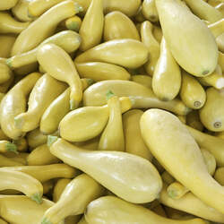 Cucurbita pepo   Golden Summer Crookneck Golden Summer Crookneck Squash seed for sale