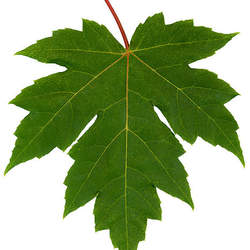 ACER x freemanii     fresh/green seed Freeman's Maple, Freeman Maple seed for sale