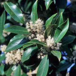Prunus caroliniana Carolina Laurelcherry, Cherry Laurel, Wild Orange, Mock Orange seed for sale