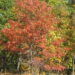 Quercus ellipsoidalis Northern Pin Oak, Jack Oak, Hill's Oak seed for sale