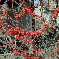 Ilex decidua Possum Haw, Possumhaw, Meadow Holly, Deciduous Holly, Swamp Holly seed for sale