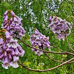 Paulownia kawakamii Sapphire Dragon Tree seed for sale